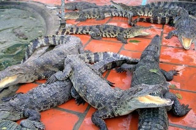 با کاهش قیمت ها ، هزاران تمساح بین پایتخت تمساح گرسنه می مانند - عکس 1.