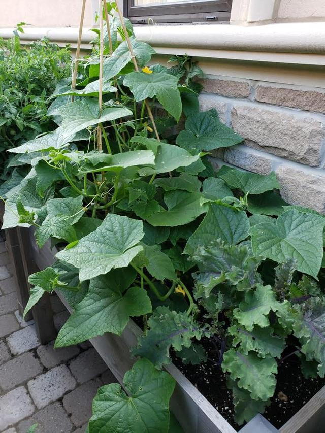 Tận dụng khoảng không nhỏ xíu bên hông nhà, bà mẹ 4 con đã tạo nên khu vườn đầy ắp rau sạch mát mắt - Ảnh 13.