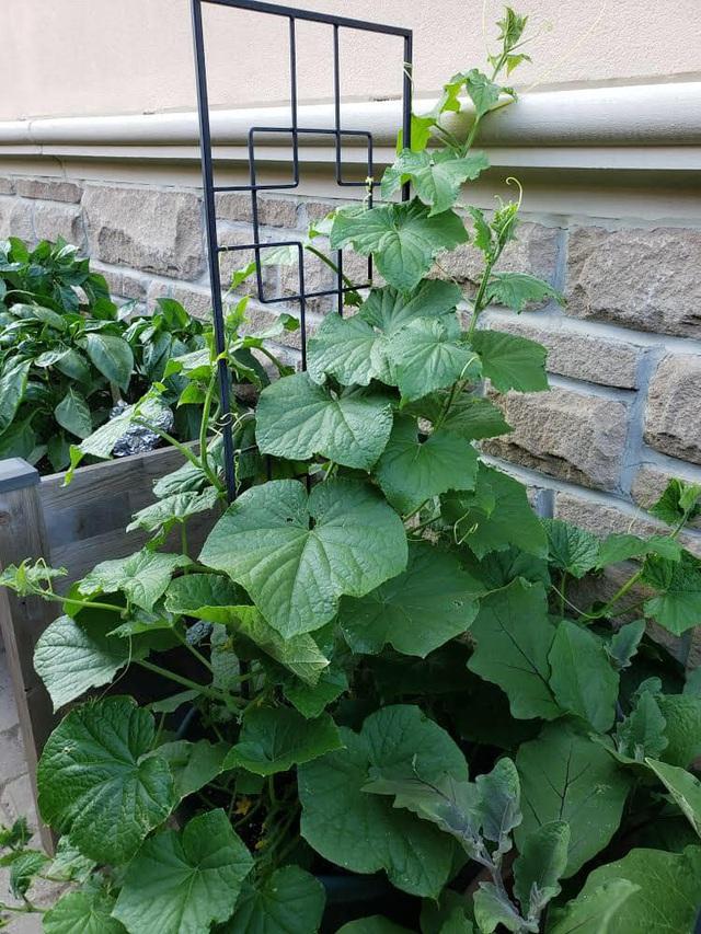 Tận dụng khoảng không nhỏ xíu bên hông nhà, bà mẹ 4 con đã tạo nên khu vườn đầy ắp rau sạch mát mắt - Ảnh 3.