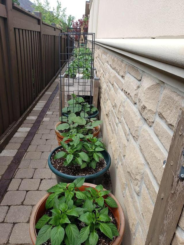 Tận dụng khoảng không nhỏ xíu bên hông nhà, bà mẹ 4 con đã tạo nên khu vườn đầy ắp rau sạch mát mắt - Ảnh 4.