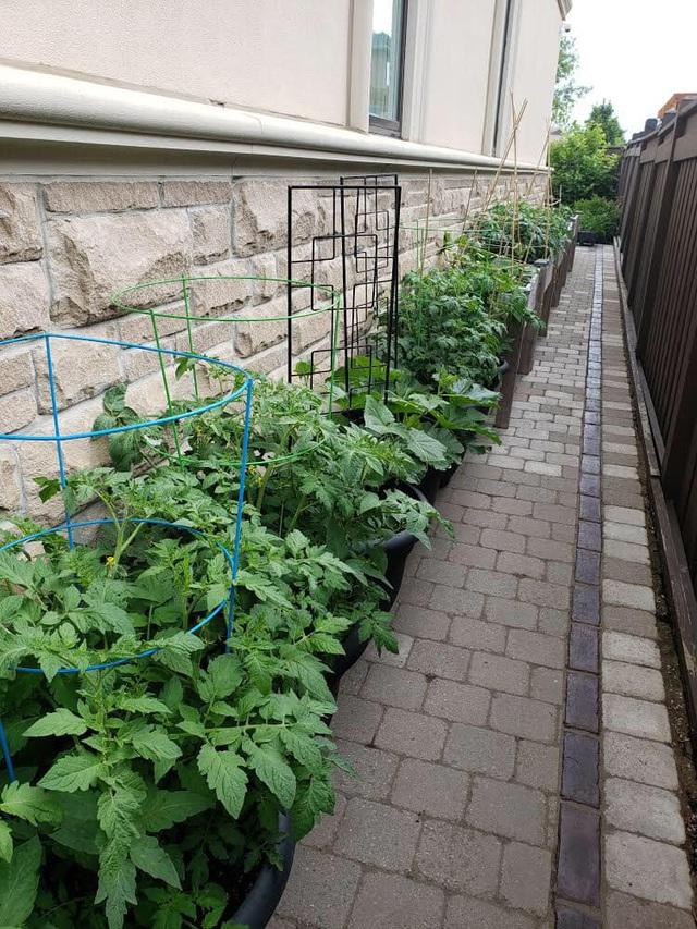 Tận dụng khoảng không nhỏ xíu bên hông nhà, bà mẹ 4 con đã tạo nên khu vườn đầy ắp rau sạch mát mắt - Ảnh 5.