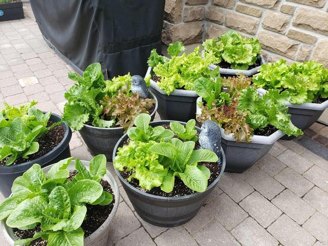 Tận dụng khoảng không nhỏ xíu bên hông nhà, bà mẹ 4 con đã tạo nên khu vườn đầy ắp rau sạch mát mắt - Ảnh 10.