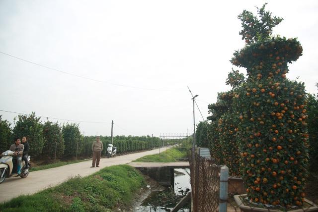 Cận cảnh vườn quýt lục bình khổng lồ phục vụ Tết cổ truyền của lão nông Hưng Yên - Ảnh 4.