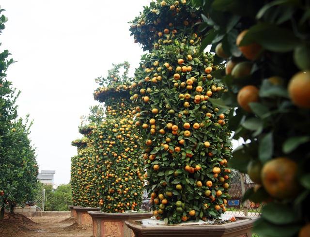 Cận cảnh vườn quýt lục bình khổng lồ phục vụ Tết cổ truyền của lão nông Hưng Yên - Ảnh 2.