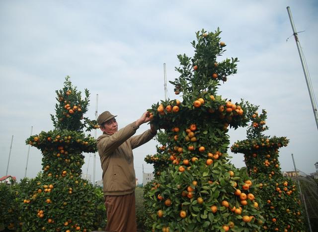 Cận cảnh vườn quýt lục bình khổng lồ phục vụ Tết cổ truyền của lão nông Hưng Yên - Ảnh 13.