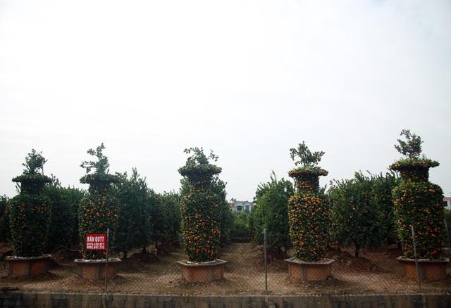 Cận cảnh vườn quýt lục bình khổng lồ phục vụ Tết cổ truyền của lão nông Hưng Yên - Ảnh 5.