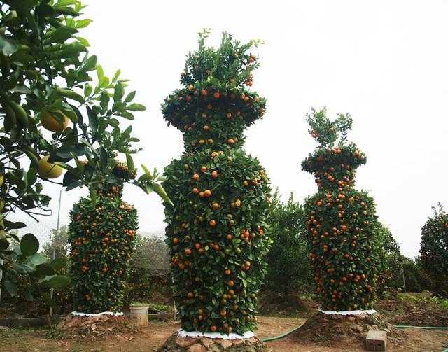 Cận cảnh vườn quýt lục bình khổng lồ phục vụ Tết cổ truyền của lão nông Hưng Yên - Ảnh 6.