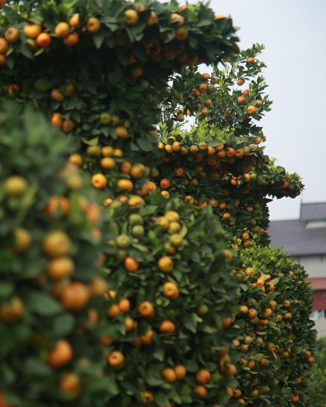 Cận cảnh vườn quýt lục bình khổng lồ phục vụ Tết cổ truyền của lão nông Hưng Yên - Ảnh 7.