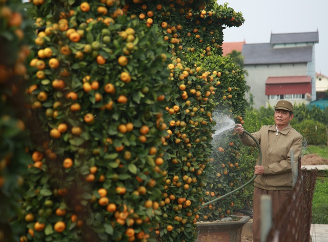 Cận cảnh vườn quýt lục bình khổng lồ phục vụ Tết cổ truyền của lão nông Hưng Yên - Ảnh 8.