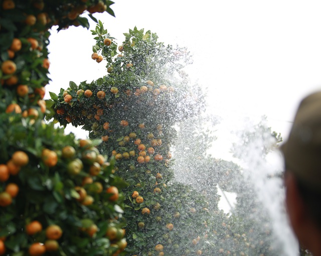 Cận cảnh vườn quýt lục bình khổng lồ phục vụ Tết cổ truyền của lão nông Hưng Yên - Ảnh 9.
