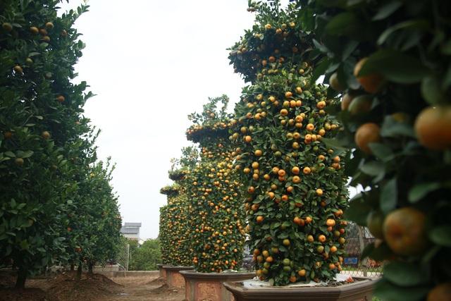 Cận cảnh vườn quýt lục bình khổng lồ phục vụ Tết cổ truyền của lão nông Hưng Yên - Ảnh 12.