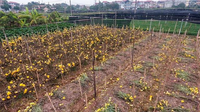 Ruộng hoa khô héo vì không bán được, dân trồng hoa gạt nước mắt cắt bỏ - Ảnh 3.