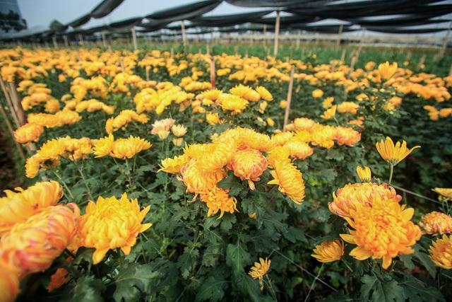 Ruộng hoa khô héo vì không bán được, dân trồng hoa gạt nước mắt cắt bỏ - Ảnh 12.