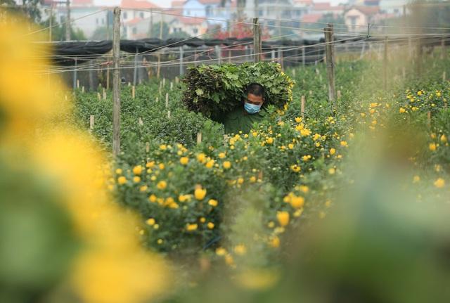 Ruộng hoa khô héo vì không bán được, dân trồng hoa gạt nước mắt cắt bỏ - Ảnh 15.