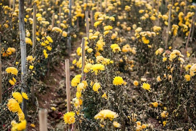 Ruộng hoa khô héo vì không bán được, dân trồng hoa gạt nước mắt cắt bỏ - Ảnh 4.