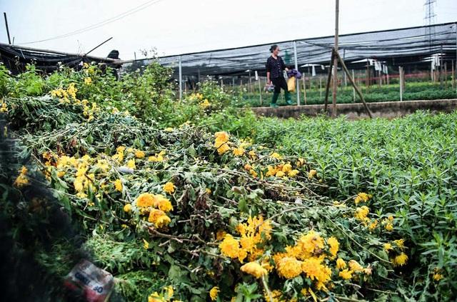 Ruộng hoa khô héo vì không bán được, dân trồng hoa gạt nước mắt cắt bỏ - Ảnh 5.