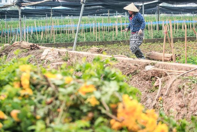 Ruộng hoa khô héo vì không bán được, dân trồng hoa gạt nước mắt cắt bỏ - Ảnh 6.