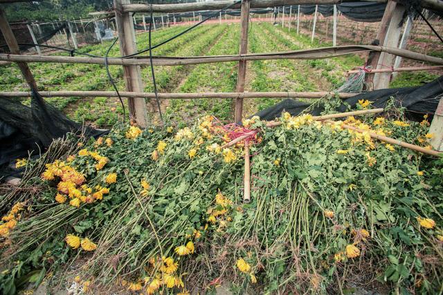 Ruộng hoa khô héo vì không bán được, dân trồng hoa gạt nước mắt cắt bỏ - Ảnh 7.