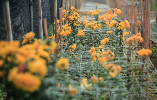 Ruộng hoa khô héo vì không bán được, dân trồng hoa gạt nước mắt cắt bỏ - Ảnh 10.