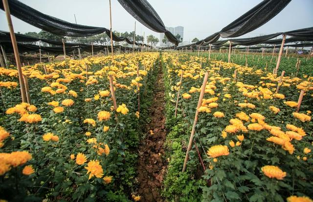 Ruộng hoa khô héo vì không bán được, dân trồng hoa gạt nước mắt cắt bỏ - Ảnh 11.