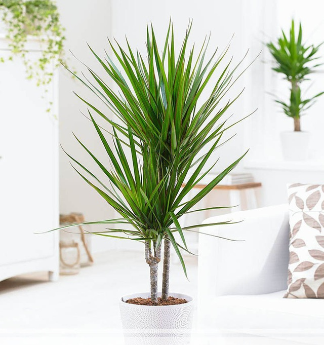 9 loại cây thanh lọc không khí trong nhà tốt nhất mà lại rất dễ trồng - Ảnh 8.