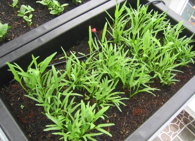 10 loại rau thích hợp để bạn có thể trồng vào tháng 4 - Ảnh 9.