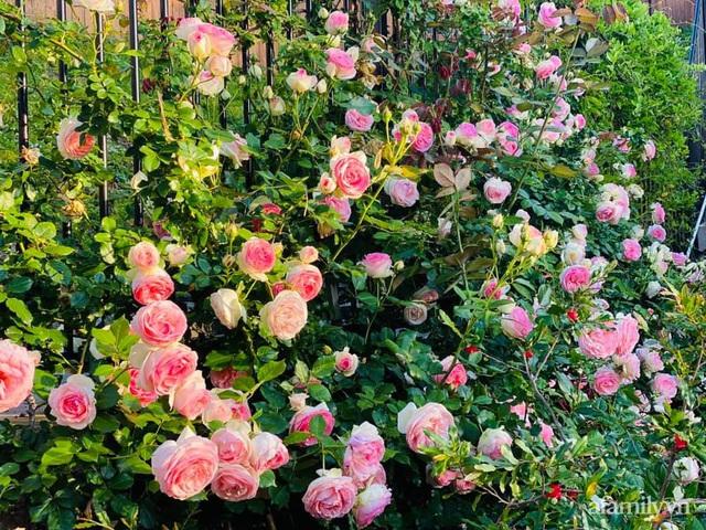 Khu vườn muôn hoa khoe sắc tỏa hương của mẹ Việt thức đêm chăm cây  - Ảnh 10.