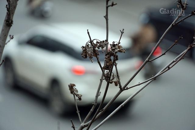 Trồng cây phong lá đỏ ở tuyến đường đẹp nhất nhì Thủ đô là không phù hợp? - Ảnh 3.