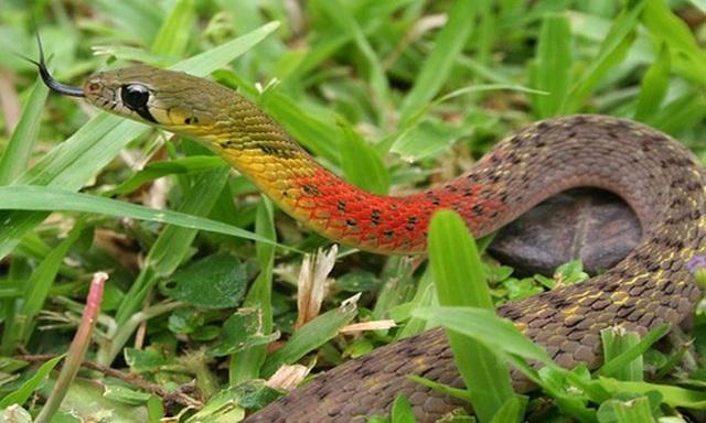 Bé gái tử vong vì rắn học trò: Nhiều người vẫn nuôi chơi  - Ảnh 3.