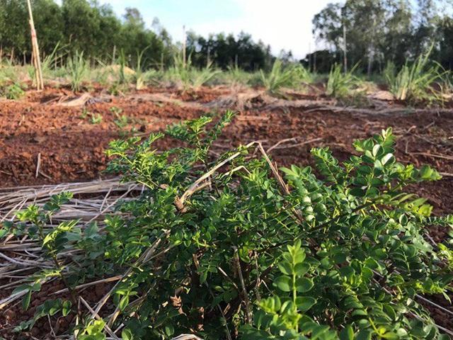 Bất ngờ những loại cây leo bờ rào nông dân kiếm tiền triệu - Ảnh 10.