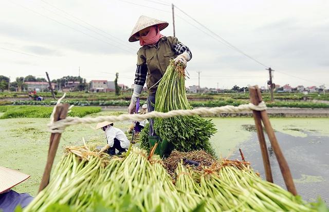 Chọn rau cần xào cá và cách làm để không nhũn, không nát, không độc, không có vắt - Ảnh 2.