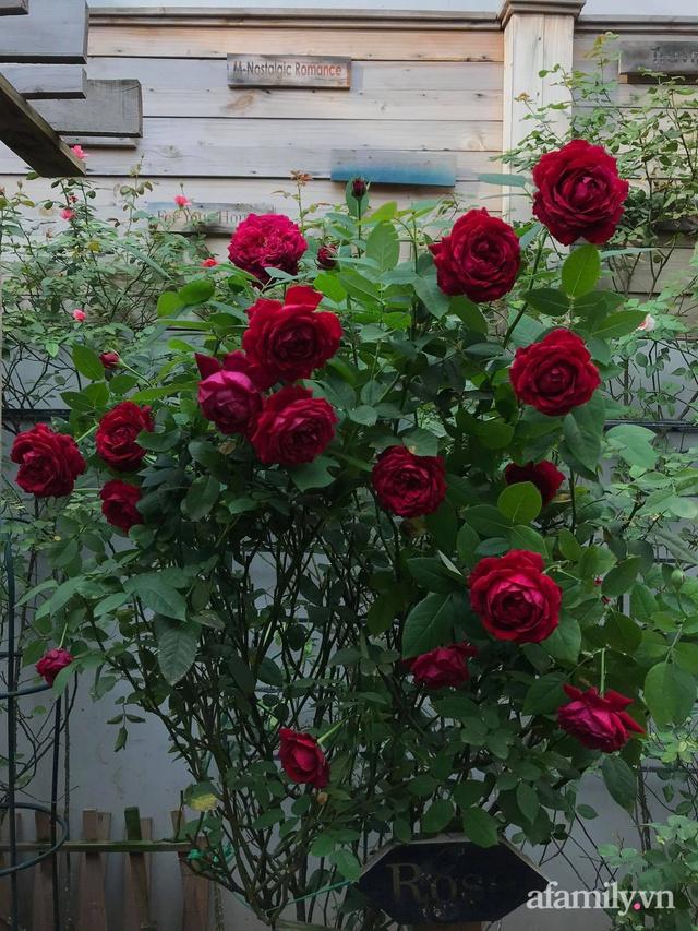 Vườn hồng rực rỡ tỏa sắc hương trước sân nhà đón hè sang của cặp vợ chồng trẻ Sài Gòn - Ảnh 14.