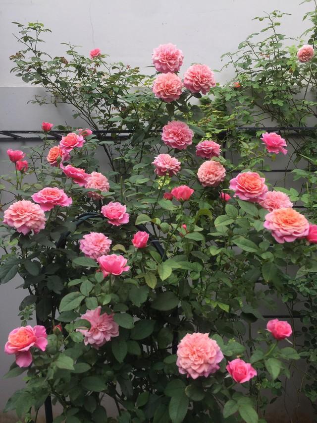 Vườn hồng rực rỡ tỏa sắc hương trước sân nhà đón hè sang của cặp vợ chồng trẻ Sài Gòn - Ảnh 19.