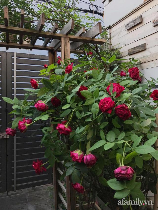 Vườn hồng rực rỡ tỏa sắc hương trước sân nhà đón hè sang của cặp vợ chồng trẻ Sài Gòn - Ảnh 24.