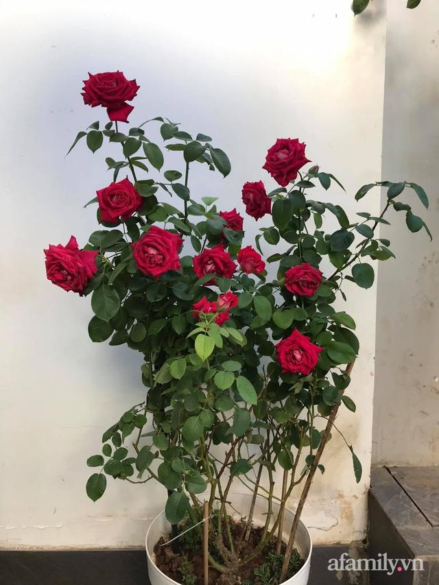 Vườn hồng rực rỡ tỏa sắc hương trước sân nhà đón hè sang của cặp vợ chồng trẻ Sài Gòn - Ảnh 28.