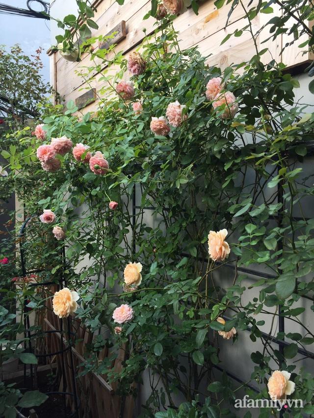 Vườn hồng rực rỡ tỏa sắc hương trước sân nhà đón hè sang của cặp vợ chồng trẻ Sài Gòn - Ảnh 9.