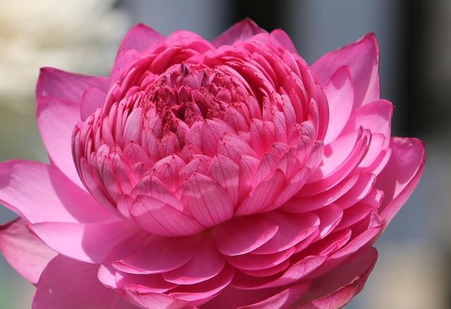 Hà thành lại lên cơn sốt hoa sen khổng lồ nghìn cánh - Ảnh 2.
