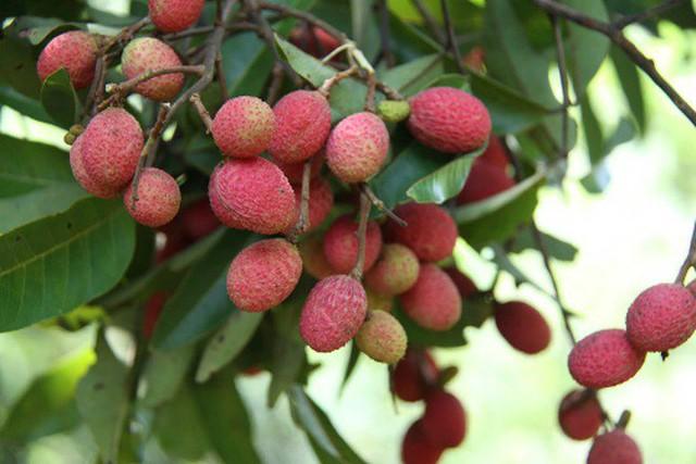4 loại quả rừng giá chát vẫn được lùng mua - Ảnh 5.
