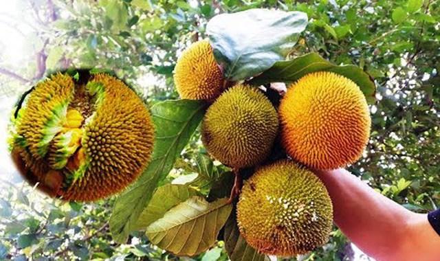 4 loại quả rừng giá chát vẫn được lùng mua - Ảnh 7.