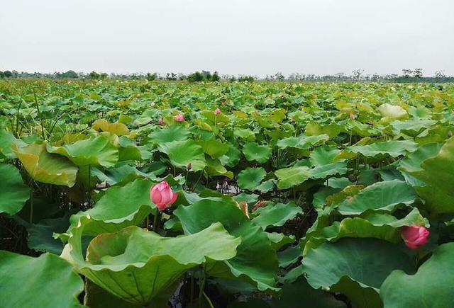 Kỷ lục triệu bông hoa sen của anh nông dân Hà Nội - Ảnh 1.
