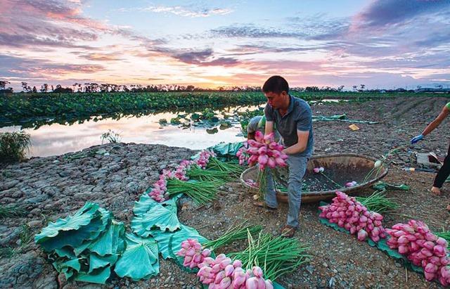 Kỷ lục triệu bông hoa sen của anh nông dân Hà Nội - Ảnh 2.