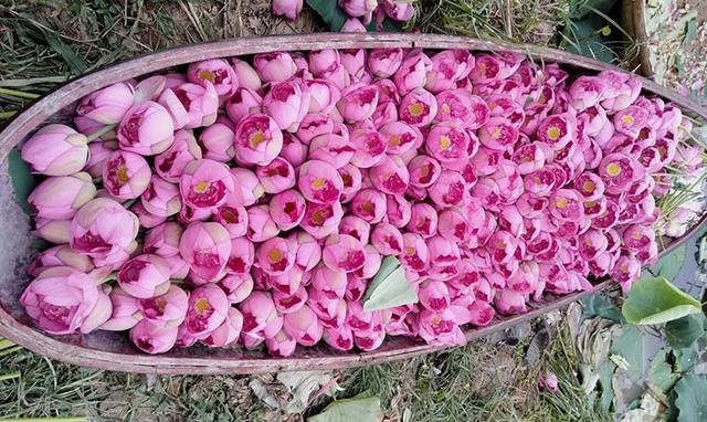 Kỷ lục triệu bông hoa sen của anh nông dân Hà Nội - Ảnh 3.