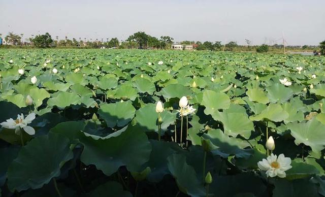 Kỷ lục triệu bông hoa sen của anh nông dân Hà Nội - Ảnh 6.