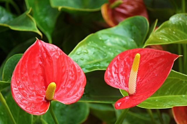 Ý nghĩa và cách chăm sóc cây hồng môn trong phong thủy để tốt cho gia đình - Ảnh 2.