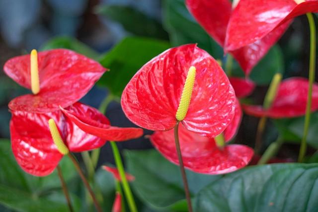 Ý nghĩa và cách chăm sóc cây hồng môn trong phong thủy để tốt cho gia đình - Ảnh 3.