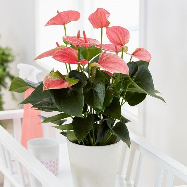 Ý nghĩa và cách chăm sóc cây hồng môn trong phong thủy để tốt cho gia đình - Ảnh 5.