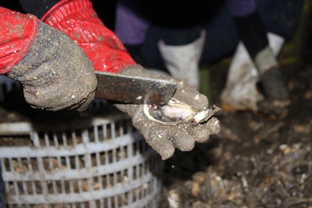 کوانگ نینگ: صدف شیر برای شیر کاهش می یابد به دلیل همه گیری COVID -19 ، ماهیگیران سفید در شب برداشت می کنند - عکس 5.
