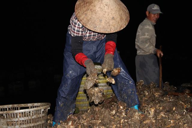 کوانگ نینگ: صدف های شیر به دلیل شیوع COVID -19 کاهش می یابد ، ماهیگیران سفید در شب برداشت می کنند - عکس 6.
