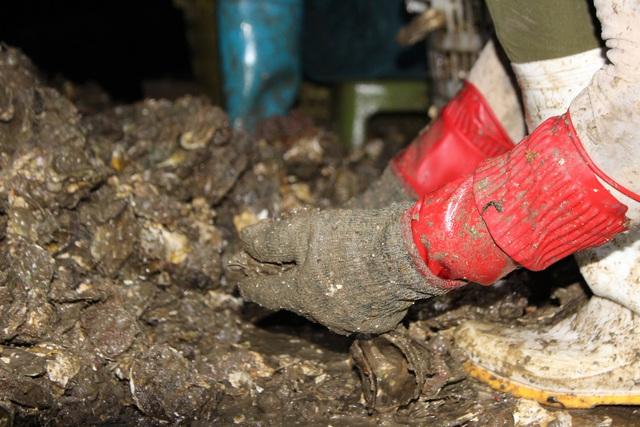 کوانگ نینگ: صدف شیر برای شیر کاهش می یابد به دلیل همه گیری COVID -19 ، ماهیگیران سفید در شب برداشت می کنند - عکس 2.