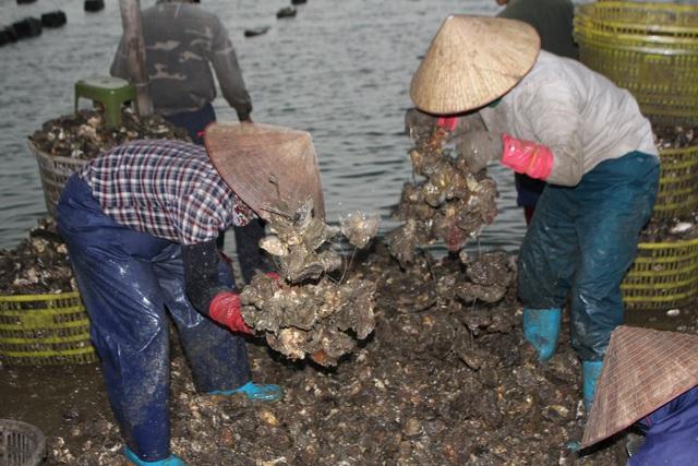 کوانگ نینگ: صدف شیر برای شیر کاهش می یابد به دلیل همه گیری COVID -19 ، ماهیگیران سفید در شب برداشت می کنند - عکس 3.